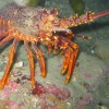 Our work in Rock Lobster